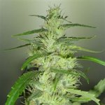 http://www.nobledreams.co.uk/uploads/thumbs/12_royal-dutch-genetics-feminised-super-silver-cheese-m-1263.jpg
